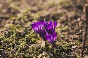 purple crocus flowers coming up through the dirt